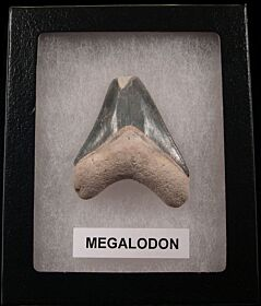 Real Bone Valley Megalodon teeth for sale | Buried Treasure Fossils