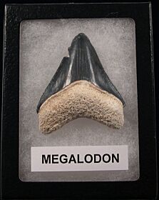 Cool gray Bone Valley Megalodon tooth for sale | Buried Treasure Fossils