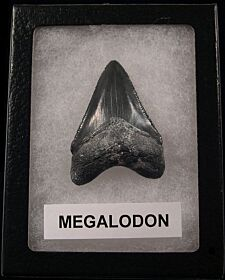 Real Florida Megalodon tooth for sale | Buried Treasure Fossils