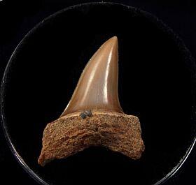 Baja Isurus oxyrinchus tooth fro sale | Buried Treasure Fossils