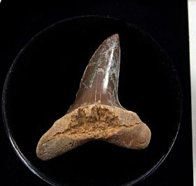 Mexico Mako shark tooth for sale | Buried Treasure Fossils