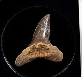 Baja Mako tooth for sale | Buried Treasure Fossils