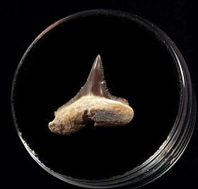 Baja Sphyrna mokarran tooth for sale | Buried Treasure Fossils