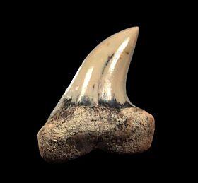 Baja Carcharodon planus tooth for sale | Buried Treasure Fossils