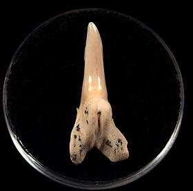 Baja Hemipristis serra tooth for sale | Buried Treasure Fossils