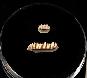 Baja Rhinoptera ray tooth for sale | Buried Treasure Fossils