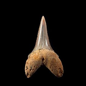 Baja Sur Great White shark tooth for sale | Buried Treasure Fossils