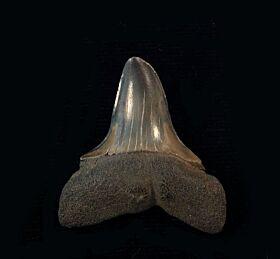 Isurus hastalis