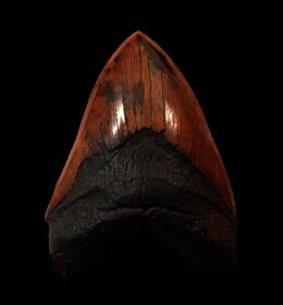 Large Meherrin River Megalodon tooth for sale | Buried Treasure Fossils