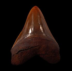 Meherrin River Megalodon tooth for sale | Buried Treasure Fossils