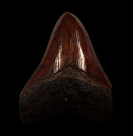 Copper red site Megalodon tooth | Buried Treasure Fossils