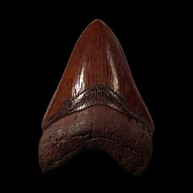 Real Copper-red Isurus hastalis tooth for sale | Buried Treasure Fossils