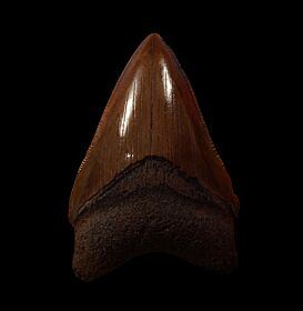 Red Site Megalodon tooth for sale | Buried Treasure Fossils