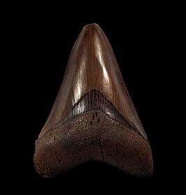No. Carolina Red Site Megalodon tooth for sale | Buried Treasure Fossils