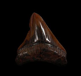 Rare Meherrin River Megalodon tooth for sale | Buried Treasure Fossils