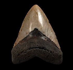 Large North Carolina ocean Megalodon tooth for sale | Buried Treasure Fossils