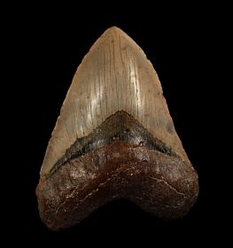 North Carolina ocean Meg tooth for sale | Buried Treasure Fossils