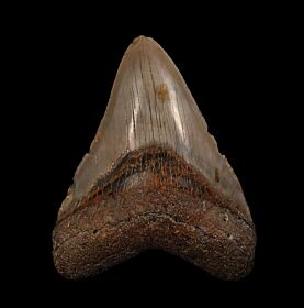 Meherrin River Red Megalodon tooth for sale | Buried Treasure Fossils