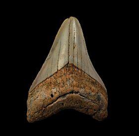 North Carolina ocean Meg tooth for sale | Buried Treasure Fossils