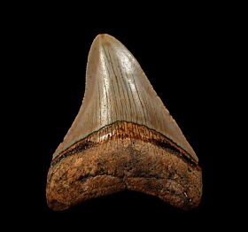 Atlantic ocean Megalodon tooth for sale | Buried Treasure Fossils