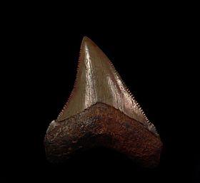 Carcharocles chubutensis