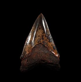 Meherrin River red Chubutensis tooth for sale | Buried Treasure Fossils
