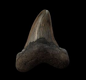 Inexpensive NC Otodus auriculatus tooth for sale | Buried Treasure Fossils