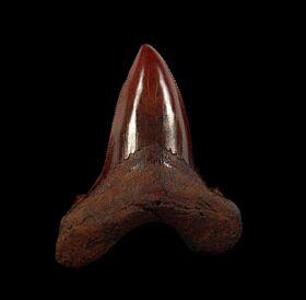 No. Carolina red site Auriculatus tooth for sale   Buried Treasure Fossils