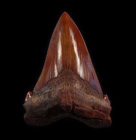 Carcharodon auriculatus (Megalodon ancestor)