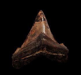 Meherrin River Angustidens shark tooth for sale | Buried Treasure Fossils