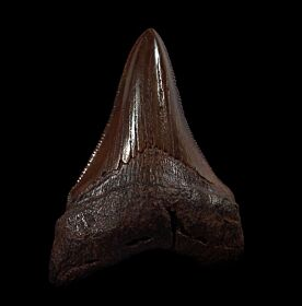 Real Copper-red Angustidens tooth for sale | Buried Treasure Fossils