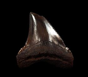 Copper-red Angustidens shark tooth for sale   Buried Treasure Fossils