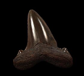 Copper-red Angustidens shark tooth for sale | Buried Treasure Fossils