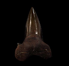 NC Auriculatus tooth for sale | Buried Treasure Fossils