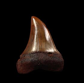 Copper -red Isurus hastalis tooth for sale | Buried Treasure Fossils