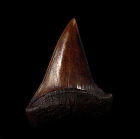 Big No. Carolina Mako shark teeth for sale | Buried Treasure Fossils