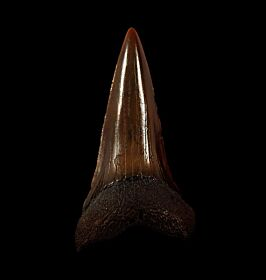 NC Carcharodon hastalis tooth for sale   Buried Treasure Fossils