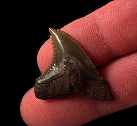 No. Carolina red site Hemipristis tooth for sale | Buried Treasure Fossils