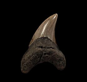 Atlantic ocean Parodotus benedeni tooth for sale |Buried Treasure Fossils