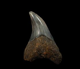 No. Carolina ocean Parodotus benedeni tooth for sale |Buried Treasure Fossils