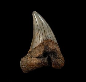 Cheap Atlantic ocean Parodotus benedeni tooth for sale |Buried Treasure Fossils