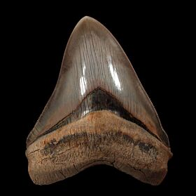 GEM Peruvian Megalodon Tooth for Sale | Buried Treasure Fossils