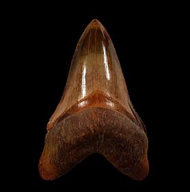 Real Peruvian Megalodon Tooth for Sale | Buried Treasure Fossils