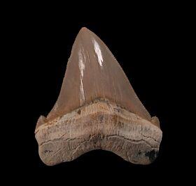 Quality Peruvian Chub tooth for sale | Buried Treasure Fossils