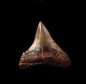 Peruvian Chubutensis tooth for sale | Buried Treasure Fossils