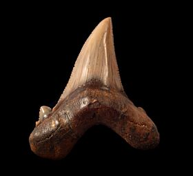 Rare Peruvian Auriculatus tooth for sale | Buried treasure Fossils