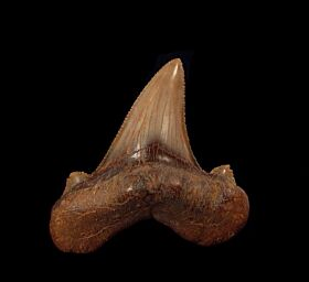 Rare Auriculatus tooth from Peru for sale | Buried Treasure Fossils