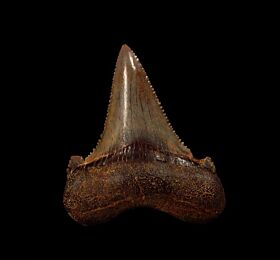 Very rare, large Auriculatus tooth for sale | Buried Treasure Fossils