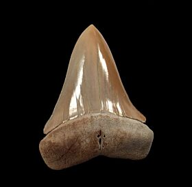 Cheap Peruvian Mako tooth for sale | Buried Treasure Fossils