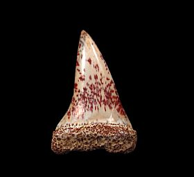 Peruvian Hastalis tooth for sale | Buried Treasure Fossils